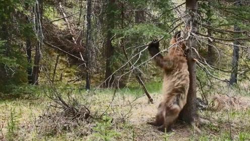 空无一人的森林,出现一只棕熊跳钢管舞,舞姿还很性感!