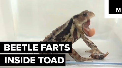 什么都吃的蟾蜍,遇到放屁虫后,搞笑的一幕出来了