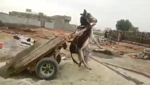 主人给驴卸货,常常毫无防备,驴:下次再这样,老子不干了