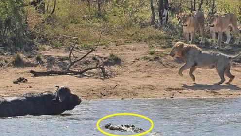 野牛被狮子追赶,慌忙跳进河里,下一秒竟然冒出了鳄鱼