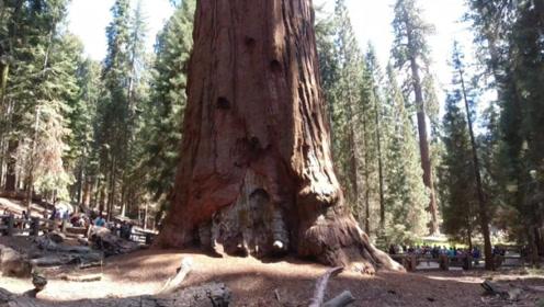 世界上最大的树,高达83.8米,种下的时候中国还处于春秋战国时期!