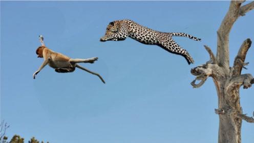 """猴子挑衅豹子,豹子一招""""空中飞豹"""",让猴子无路可逃,太拼了"""
