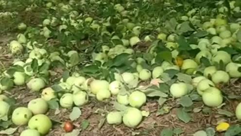 我也想低调呀,可是实力它不允许,看看这满地的苹果装都装不下!