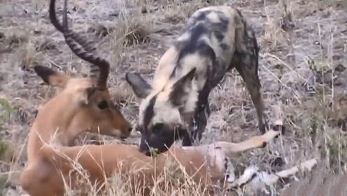 太震撼了!羚羊半个身体被野狗掏空,却在生死关头绝命反击!