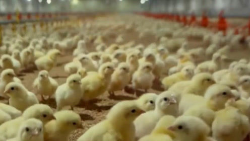 亚洲最大的养鸡场,每年能发电1.3亿度,引得各国纷纷效仿!