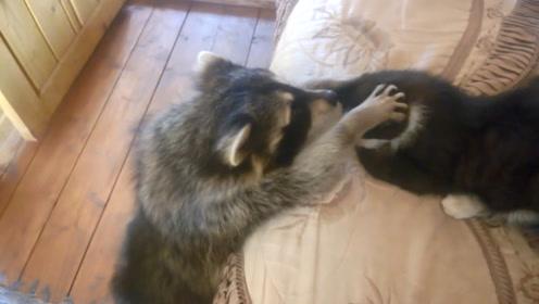 野生浣熊闯入民宅,进屋就把把猫咪撸了一顿,镜头记录搞笑画面