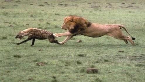 狮子咬掉了鬣狗后肢,一路追赶却不吃掉它!镜头记录全过程
