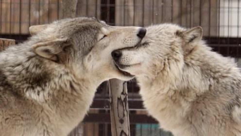 同样都是犬科动物,为何狼的配偶只有一个,而狗的配偶却数不清?