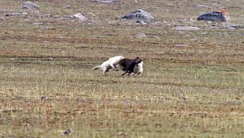 两只野狼合力捕捉到一头小野牛,牛群见状冲了过来,接下来的一幕让人感动!