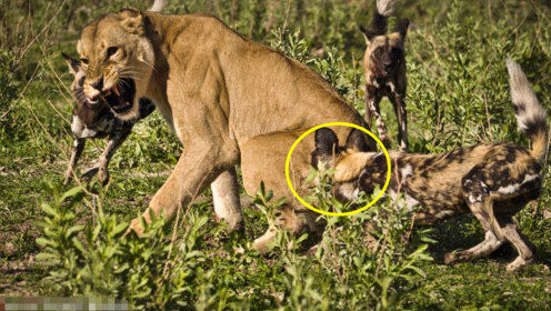 雄狮大战非洲野狗,场面一度失控,镜头记录下全过程