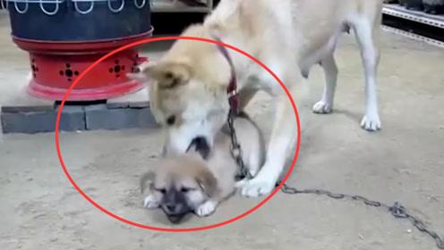 小狗回家晚了,竟被狗妈妈在门口拖着打,网友:心疼狗仔三秒!