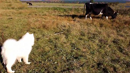 萨摩耶第一次看到奶牛,还以为是大型猛兽,这反应太逗了!