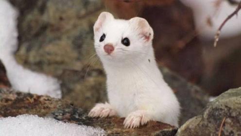 川西一巴掌大动物,外表可爱却是捕鼠能手,一年吃掉3千只老鼠