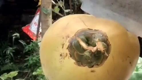 当椰子遇上菜刀,厚厚的壳转眼就被劈开,看得好过瘾