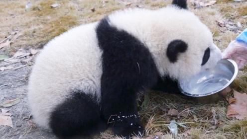 熊猫宝宝喝盆盆奶,刚喝一半就被收走,小家伙立马不爽了