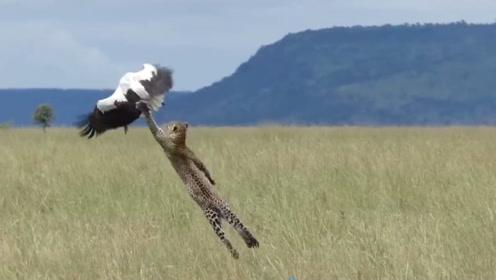 豹子伏击一只大鸟,敏捷与敏捷的对战,场面难得一见