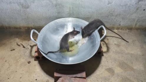 老鼠偷油吃,掉进油锅出不来,这款老鼠陷阱真不错