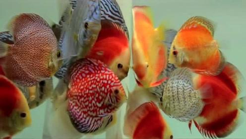 五颜六色的七彩神仙鱼正在抢食,画面很美,真想买几条养在家里