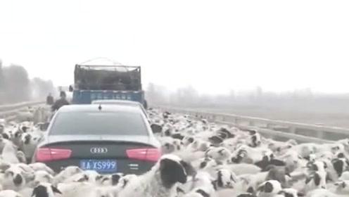 这是啥情况,怎么这么多羊,奥迪车主该哭了
