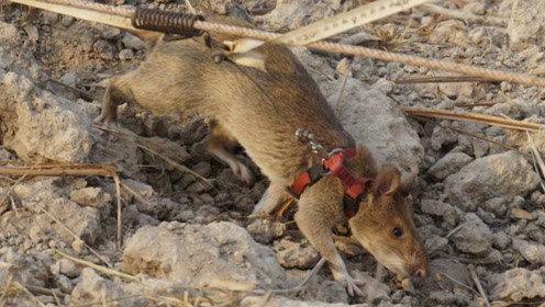这种老鼠出名了,一年就能够让上万人活命,被当地人当做宝贝