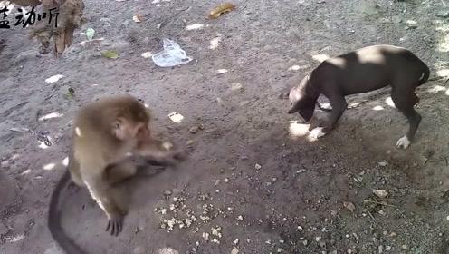 这猴子太能作了,上来就抢狗狗的饭碗!这操作也就猴子能干出来!
