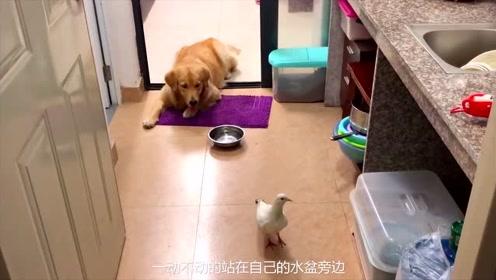 鸽子飞进家里了,金毛对鸽子穷追不舍,还把鸽子堵在了厨房
