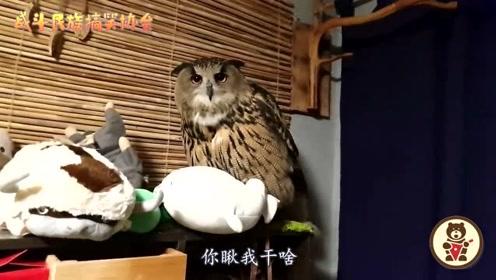 """家养的猫头鹰就是任性!半夜和主人""""吵架"""",气得嗓子都哑了"""