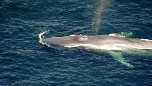 庞大的体型如同小型潜艇,这是它们难得的进食机会!