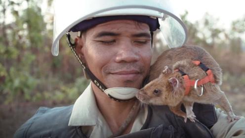 """世界上最大老鼠,一年拯救人命上万条!被当地人称为""""鼠英雄"""""""