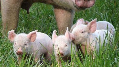 22省猪肉价格飘绿!猪肉终于理性回归,未来趋势这样发展!