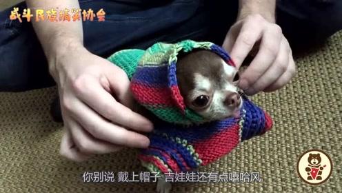 主人给吉娃娃穿了件连帽衫,狗子:感觉我能唱嘻哈