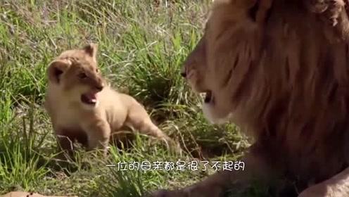 野狗抓走了小狮子,母狮看到后直接暴怒,猎杀了十几只野狗才稳定了下来