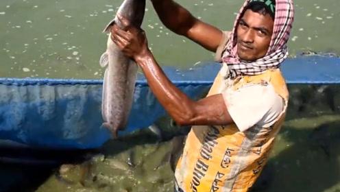 男子往河里扔食物,接下来的场面亮了!镜头记录印度鲶鱼抢食全程