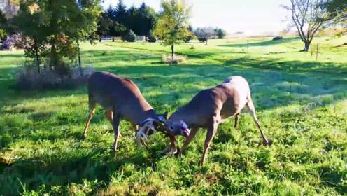 """两公鹿鹿角缠在一起分不开,男子发现后,用电锯锯断鹿角""""解死扣"""""""