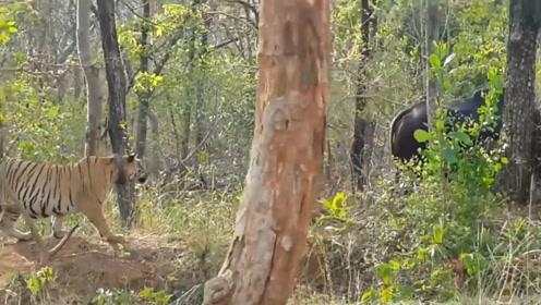 400斤大老虎欲捕食水牛,却被水牛一个转身吓跑,完全没有万兽之王的气势