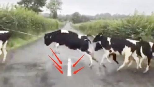 几只牛过马路,以为路中间的白线是栏杆,走过的动作真搞笑