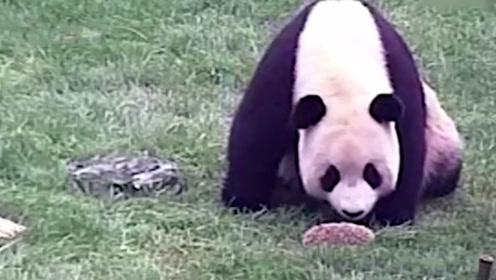 熊猫第一次见刺猬,直接一巴掌拍了过去,接下来举动让人哭笑不得