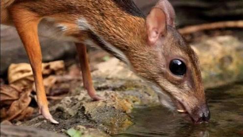 世界上最小的鹿,体型似老鼠,网友:太可爱了,真想养一只!