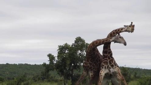 科普:长颈鹿如何寻找配偶?网友:全靠一张嘴