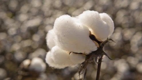 棉花加工成衣服你知道经过几步工序吗,原来最复杂的步骤是清洗过程!