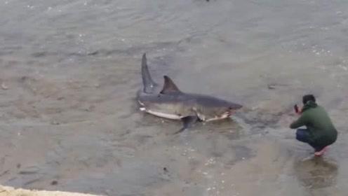 海边发现一条搁浅的鲨鱼,没想到拍照还挺配合