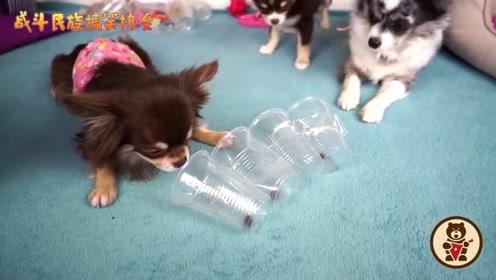 主人把狗子放在杯子里,吉娃娃吃不到,气得直挠墙