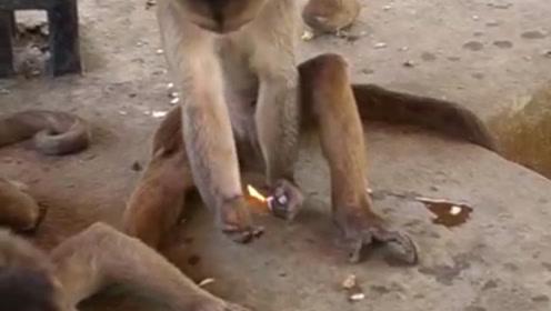 游客掉打火机被猴子捡到,猴子玩火机把毛烧黑了,镜头记录全过程