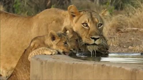 小狮子和妈妈一起喝水,画面太治愈了