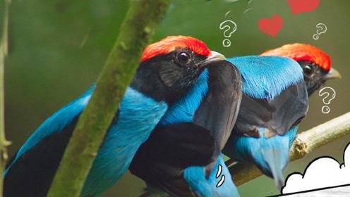 【饭制】鸟界求爱联盟!燕尾娇鹟花式告白,这是爱的魔力转圈圈!