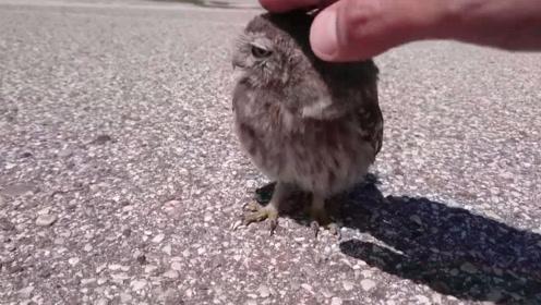 路边发现一只可爱的猫头鹰宝宝,而且任人摸它,可惜后来飞走了