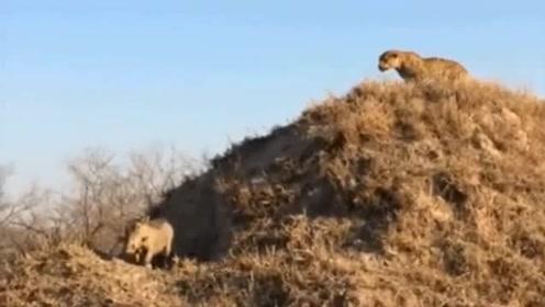 花豹的最经典捕猎画面,技术充分展现,能力与智商并存