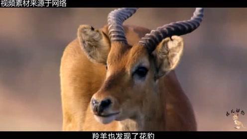 原来花豹也会利用有利环境辅助来捕猎,游客纷纷表示:太聪明了