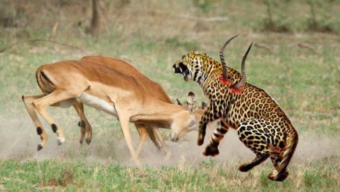 花豹捕食羚羊,却反被羚羊角捅伤,镜头拍下全过程