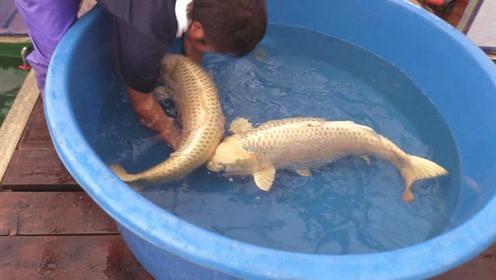 高价买来两条极品大锦鲤,好友立马将它们放入水池中,看着真养眼